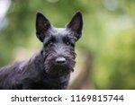 Black Scottish Terrier Puppy...