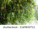laburnum anagyroides   small... | Shutterstock . vector #1169833711