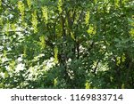 laburnum anagyroides   small... | Shutterstock . vector #1169833714