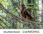 hawk honeydew. a hawk on a tree ... | Shutterstock . vector #1169853901