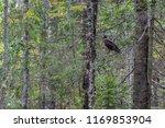 hawk honeydew. a hawk on a tree ... | Shutterstock . vector #1169853904