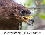 hawk honeydew. a hawk on a tree ... | Shutterstock . vector #1169853907