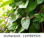 ceylon spinach  east indian... | Shutterstock . vector #1169869324