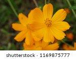 yellow cosmos or cosmos... | Shutterstock . vector #1169875777