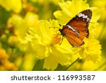 Stock photo yellow cosmos flowers and butterfly 116993587