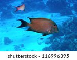 Small photo of Brown surgeonfish (Acanthurus nigrofuscus) in the Red Sea, Egypt.