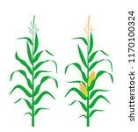 Corn Stalk. Isolated Corn On...