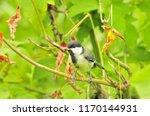 the great tit  parus major  is... | Shutterstock . vector #1170144931