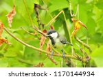 the great tit  parus major  is... | Shutterstock . vector #1170144934