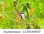 the great tit  parus major  is... | Shutterstock . vector #1170144937