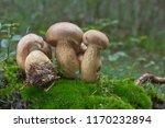 tylopilus felleus   inedible... | Shutterstock . vector #1170232894