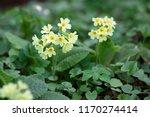 yellow cowslip primrose flowers ...   Shutterstock . vector #1170274414