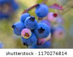 a cluster of blueberries on a... | Shutterstock . vector #1170276814