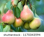 Ripe Pears On The Branches Of A ...