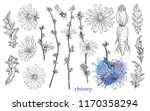 chicory. a collection of... | Shutterstock .eps vector #1170358294