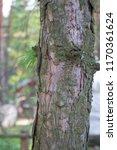pine tree. close up. macro.... | Shutterstock . vector #1170361624
