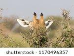 giraffe  giraffa camelopardalis ... | Shutterstock . vector #1170496357