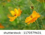 yellow cosmos or cosmos... | Shutterstock . vector #1170579631