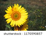 beautiful and bright sunflower...   Shutterstock . vector #1170590857