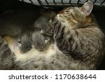 Stock photo  the cat and the kittens are asleep kittens suck milk the age of the kittens is one and a half 1170638644