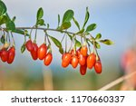 twig filled with fresh goji... | Shutterstock . vector #1170660337