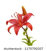 Beautifult Lily Flower Isolate...