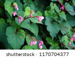 pink hardy begonia blooms in... | Shutterstock . vector #1170704377