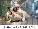 Stock photo puppy so cute sleeping or waiting alone in dog cage in pets shop or pets shelter with sadness and 1170712261