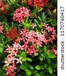 spike flower blooming  red... | Shutterstock . vector #1170760417