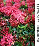 spike flower blooming  red... | Shutterstock . vector #1170761551
