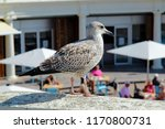 a baby seagull is keeping a... | Shutterstock . vector #1170800731
