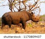 black endangered rhinoceros | Shutterstock . vector #1170809437
