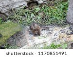 gray rat near garbage on street.... | Shutterstock . vector #1170851491