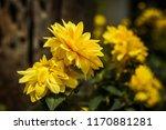 dahlia 'kelvin floodlight'... | Shutterstock . vector #1170881281