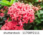 beautiful spike flower blooming ... | Shutterstock . vector #1170892111