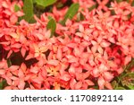 beautiful spike flower blooming ... | Shutterstock . vector #1170892114