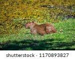 capybara photographed in... | Shutterstock . vector #1170893827