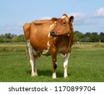 red and white cow  breed of... | Shutterstock . vector #1170899704