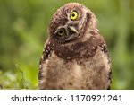 funny burrowing owl athene... | Shutterstock . vector #1170921241