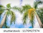 beauty of the royal palm tree...   Shutterstock . vector #1170927574