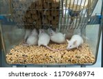 icr mice in the ivc cage to...   Shutterstock . vector #1170968974