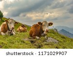 cow lying on mountain valley... | Shutterstock . vector #1171029907
