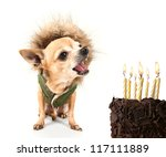 a cute chihuahua with birthday cake and a jacket on - stock photo
