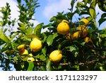 orchard grove of lemon trees... | Shutterstock . vector #1171123297