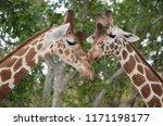 two affectionate giraffes | Shutterstock . vector #1171198177
