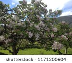 blossoms in bloom on the fresh... | Shutterstock . vector #1171200604