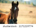 Stock photo australian horse in the paddock during the day 1171219774