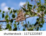 a snout nosed butterfly laying... | Shutterstock . vector #1171223587