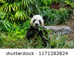 giant panda eating bamboo | Shutterstock . vector #1171283824