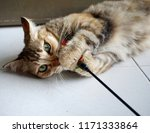 Stock photo cat playing with colorful feather wand toy 1171333864
